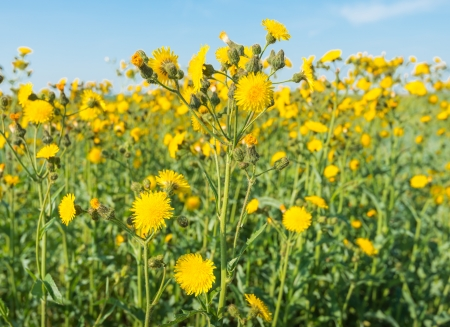 Closeup of yellow blooming Field Milk Thistle or Sonchus arvensis wildflowers  Stock Photo