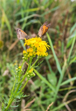 senecio: Yellow blooming Ragwort or Senecio jacobaea with two Meadow Brown or  Maniola jurtina butterflies collecting honey  Stock Photo