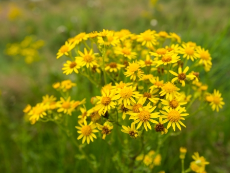 senecio: Yellow blooming Ragwort or Jacobaea vulgaris