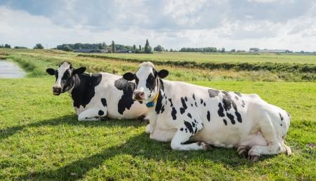 Ruminando mucche che guardano il fotografo. Archivio Fotografico - 21278158