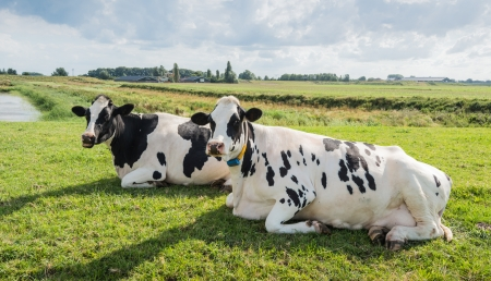 Ruminating cows watching the photographer. Stock Photo