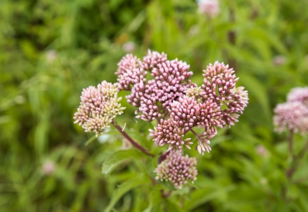 officinalis: Closeup of budding heads of a Valerian or Valeriana officinalis plant in wild nature. Stock Photo
