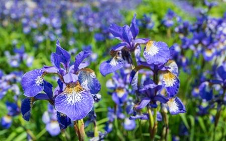 Multicolored Siberian Iris of Iris sibirica blooming in summertime
