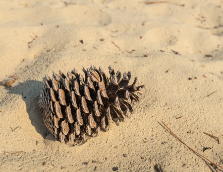 Closeup of a large pine cone in the sand of a dune  photo