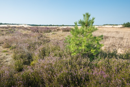 pinus sylvestris: Nature area in summertime with pink and purple flowering Common Heather or Calluna vulgaris and a Scots pine or Pinus sylvestris in the foreground  Stock Photo