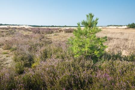 Natuurgebied in de zomer met roze en paarse bloeiende struikheide of Calluna vulgaris en een grove den of Pinus sylvestris op de voorgrond Stockfoto