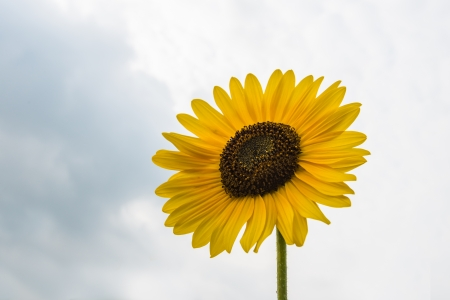 helianthus annuus: Closeup of a blooming Sunflower or Helianthus annuus plant against a cloudy sky in the summer season
