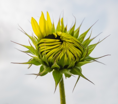 helianthus annuus: Closeup of a budding Sunflower or Helianthus annuus plant against a cloudy sky in the summer season  Stock Photo