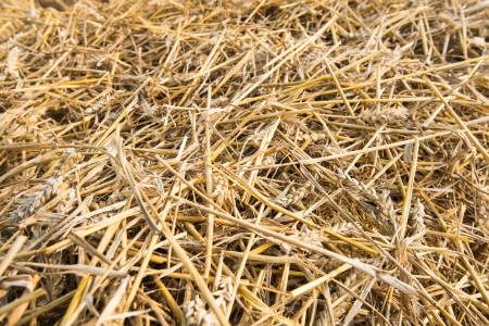 chaff: Closeup of remaining straw after removing the grain and chaff