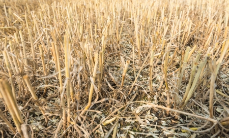 chaff: Closeip of wheat stubble and chaff the soil after harvesting and threshing of the grain  Stock Photo