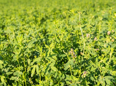 trifolium: Detailed view of Clover or Trifolium cultivated as a green compost on an agricultural field  Stock Photo