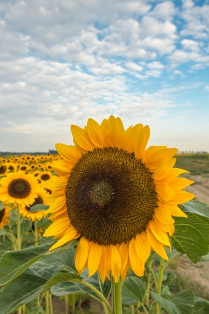 helianthus annuus: One large yellow and brown blooming Sunflower or Helianthus annuus plant in the foreground and many others in the bachground of the field in the summer season  Stock Photo
