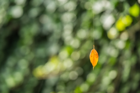 Yellowed leaf in sunlight dangling on spider silk  photo