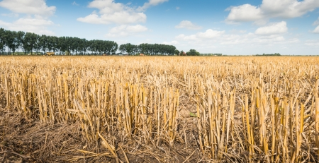 Closeup of long yellow grain stubble in a sunny rural landscape photo