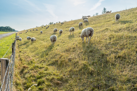 Grazing sheep on the slope of a dike against low evening sunlight  photo