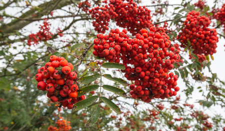 sorbus: Twigs and branches of a Rowan tree or Sorbus overloaded with ripe red Rowan Berries