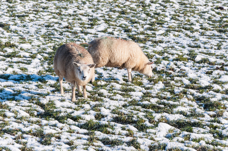 Marked ewes looking and eating at the snowy meadow Stock Photo - 22662720
