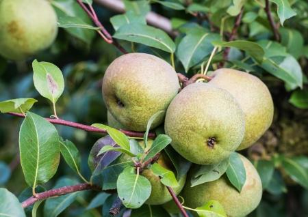 peren bijna rijp voor het plukken hangen op de boom in een boomgaard Stockfoto
