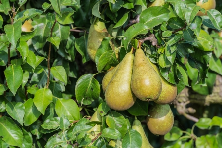 Conference pears almost ripe for picking hanging on the tree in an sunny orchard
