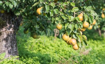 Bassa impiccagione e facile da raccogliere pere Conference a un basso albero. Archivio Fotografico - 22662871