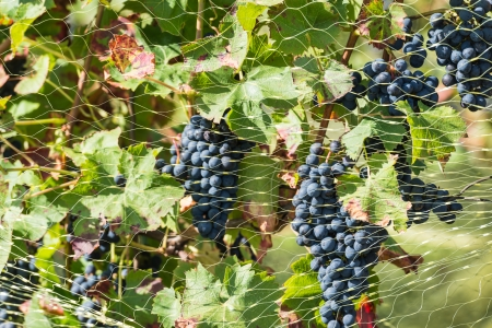 Purple vine grapes protected with a mesh against the hungry birds. Stock Photo