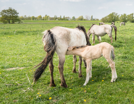 Konik foal is drinking milk with its Konik mother horse. photo