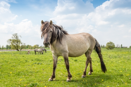 Large Konik horse poses in front of the picture with mane and tail full of burdocks. photo