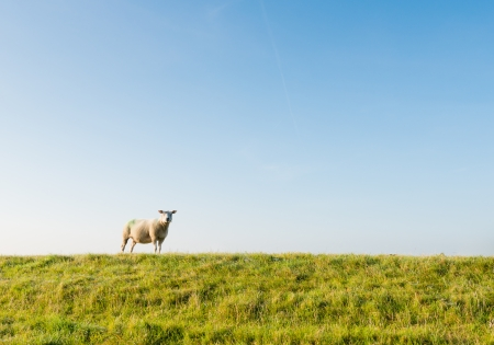 Lonely sheep curiously looking in early morning sunlight. photo