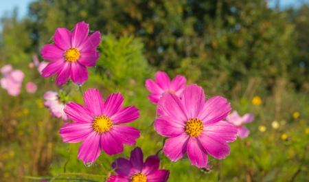crop margin: Primer plano de flores silvestres roc�o p�rpura oto�o florece a lo largo de la periferia de un campo