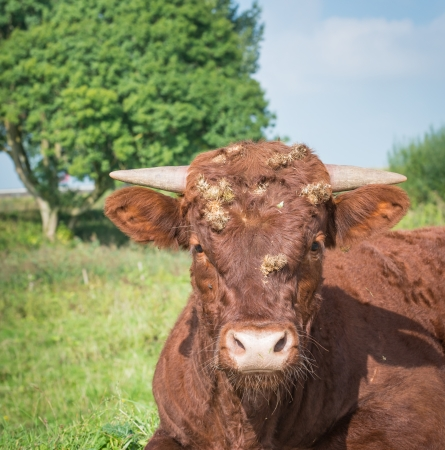 Closeup of a red cow with many burdocks on her head  photo