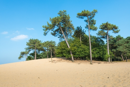 scots pine: Dune landscape in summertime with Scots Pine or Pinus sylvestris trees in the background and hot yellow sand in the foreground