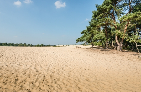 pinus sylvestris: Dune landscape in summertime with a forest of Scots Pine or Pinus sylvestris trees on the side and hot yellow sand in the foreground