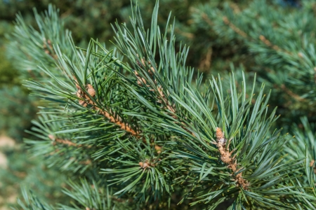 scots: Detailed view of the needles of a Scots Pine or Pinus sylvestris growing from the branches.