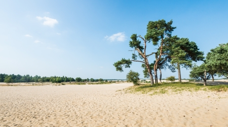 scots: Dutch dune landscape in summertime with Scots Pine or Pinus sylvestris trees in the background and hot yellow sand in the foreground.