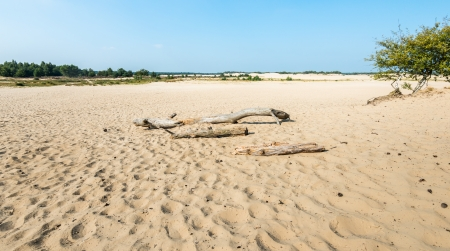 rugged terrain: Dutch natural reserve in summertime with a large desolate sandy plain with dried trunks.