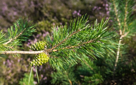 scots: Detailed view of new cones and needles of a Scots Pine or Pinus sylvestris growing on a branch against its natural background.