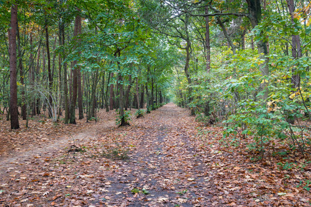 Long sandy path in a forest covered with a layer of fallen brown leaves. photo