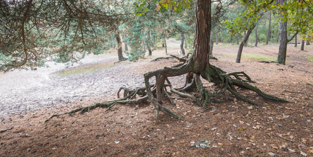 Root system of a Scots Pine or Pinus sylvestris partly above the ground. photo