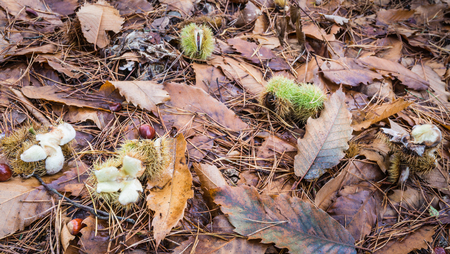 Closeup of leaves, pine needles and chestnuts in autumnal forest. photo