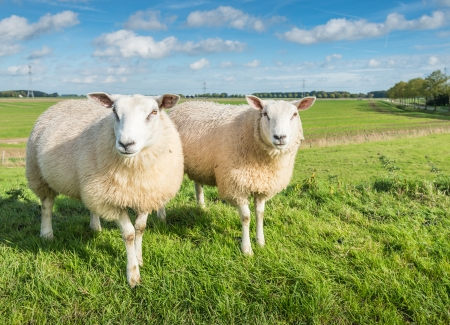 Two female sheep posing in front of the camera in a Dutch rural landscape. photo