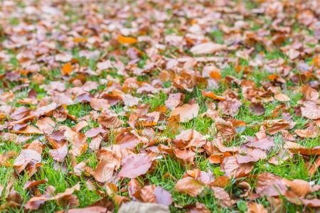 Closeup of beech leaves fallen on fresh green grass with white and yellow blooming Lawn Daisy or Bellis perennis plants. photo