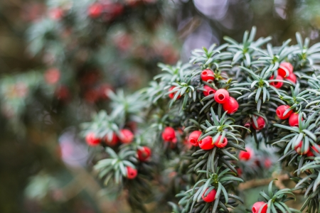 Detailed view of the green leaves and the red berries of European Yew or Taxus Baccata. photo