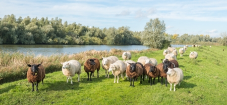 Group of brown and white sheep standing on an embankment in a Dutch nature reserve. photo