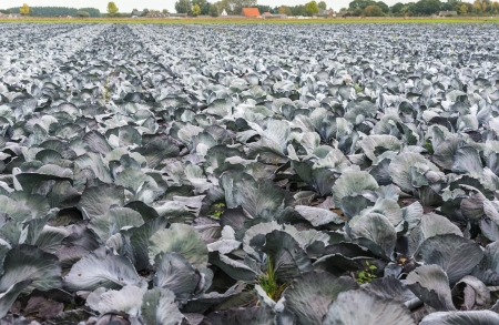 Large Field With Organically Grown Red Cabbages In A Rural Landscape Photo