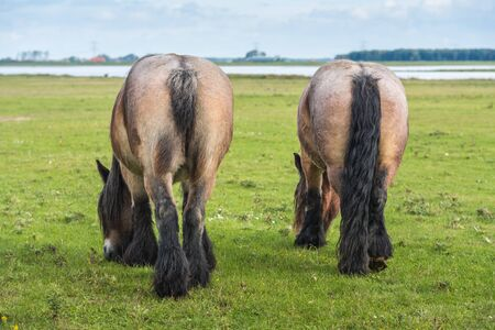 Two Belgian horses grazing in a Dutch nature reserve  photo