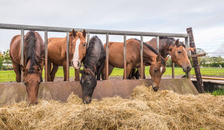 Five horses eating fresh hay between the bars of a rusty iron fence. photo