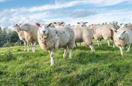 Witte schapen met bruine vlekken bij u staren terwijl je op het gras.