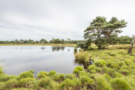 scots: Clumps of grass and a Scots Pine tree growing on the water of a lake with a mirror-smooth surface in a Dutch nature reserve  Stock Photo