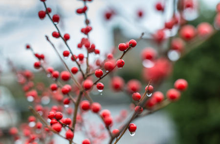 Closeup of red winter berries of the Ilex Verticillata shrub with hanging rain drops.