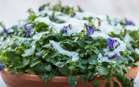 Detailed view on a pot with purple flowering pansies and snow in wintertime  photo